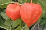 volcje jabolko